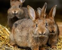 Kaninchen ca. 2 - 3 kg je Stück