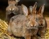 Kaninchen ca. 3 - 4 kg je Stück