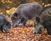 Wildschweinbraten mit Knochen je kg